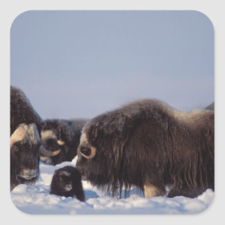 muskox, Ovibos moschatus, bull and cow with Square Sticker
