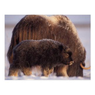 muskox, Ovibos moschatus, cow and newborn calf 2 Postcard