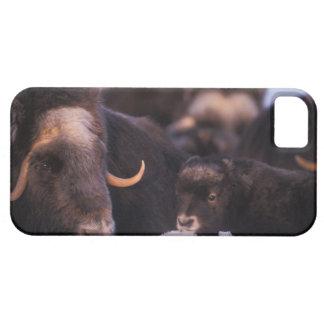 muskox, Ovibos moschatus, cow with newborn, iPhone 5 Cases