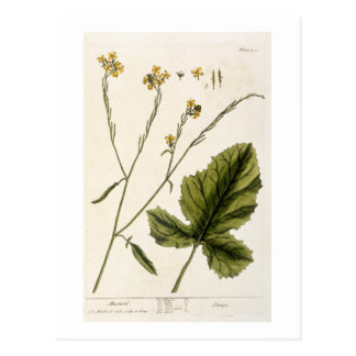Mustard, plate 446 from 'A Curious Herbal', publis Postcard