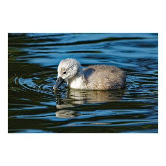 Mute Swan Cygnet Photo Print