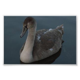 Mute Swan Cygnet Photo
