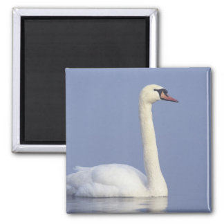 Mute Swan, Cygnus olor, adult in fog, Square Magnet