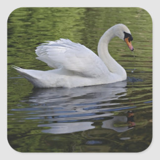Mute Swan (Cygnus olor) Louisville, Kentucky 2 Square Sticker