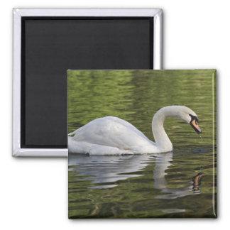 Mute Swan (Cygnus olor) Louisville, Kentucky Fridge Magnet