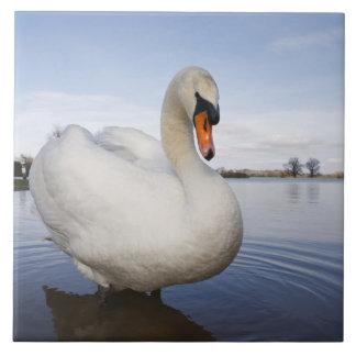 Mute Swan (Cygnus olor) on flooded field, Ceramic Tile