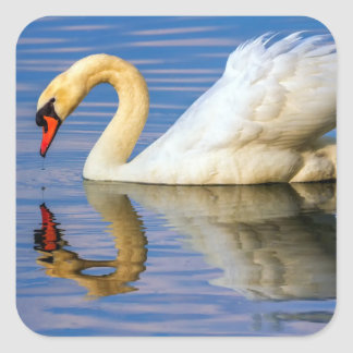Mute swan, cygnus olor square sticker