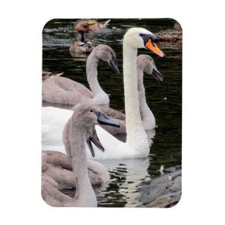 Mute Swan Family Rectangular Photo Magnet
