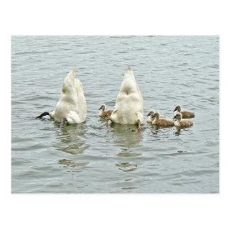 Mute Swan Famly Postcard