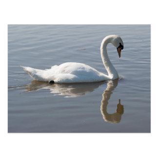 Mute Swan Postcard