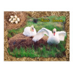 Mute swans guarding nest, Maryland Postcard