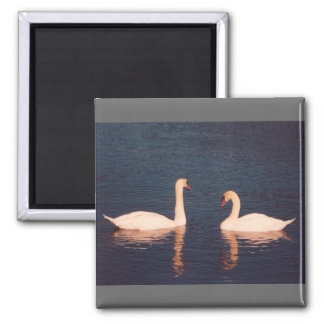 Mute Swans Square Magnet