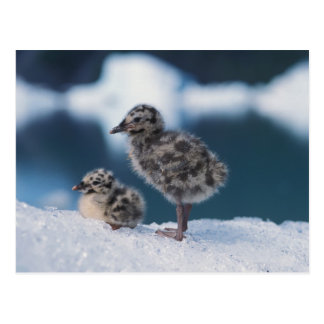 muw gull chicks, Larus canus, on an iceberg at 2 Postcard