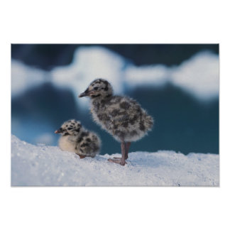 muw gull chicks, Larus canus, on an iceberg at Print