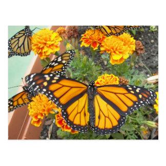 My Monarch Butterflies-postcard Postcard