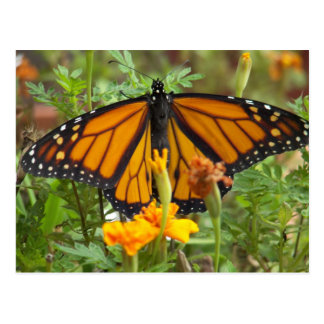 My Monarch Butterfly-postcard Postcard