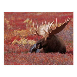 N A USA Alaska Denali National Park Bull Post Card
