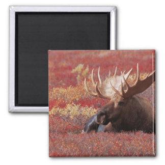 N.A., USA, Alaska, Denali National Park, Bull Square Magnet