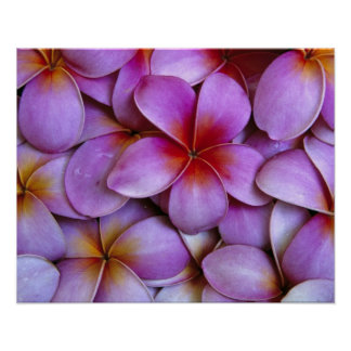 N.A., USA, Maui, Hawaii. Pink Plumeria blossoms. Poster