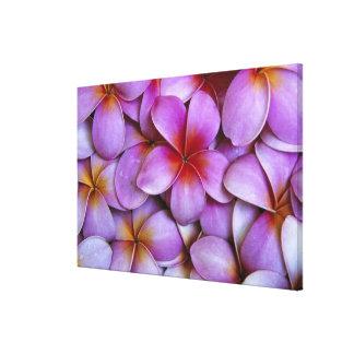 N.A., USA, Maui, Hawaii. Pink Plumeria blossoms. Stretched Canvas Prints