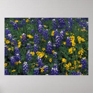 N.A, USA, Texas, Marble Falls, Blue Bonnets Poster
