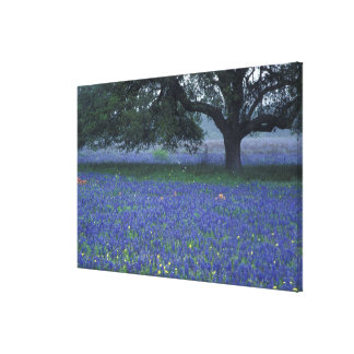 NA, Texas, Devine, Oak and blue bonnets Canvas Prints