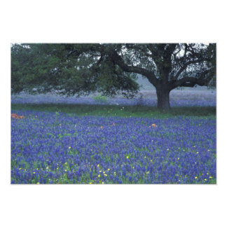 NA, Texas, Devine, Oak and blue bonnets Photo