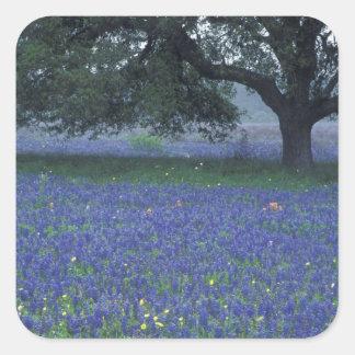 NA, Texas, Devine, Oak and blue bonnets Square Sticker