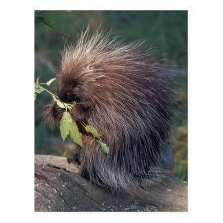 NA, USA, Alaska, Captive porcupine Postcard
