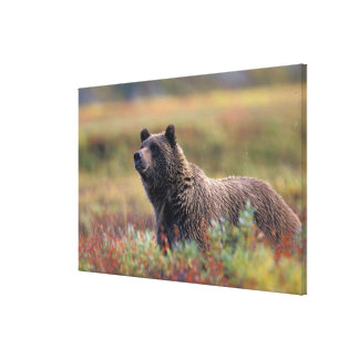 NA, USA, Alaska, Denali NP, Grizzly bear Canvas Print