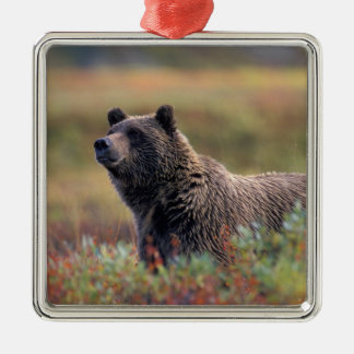 NA, USA, Alaska, Denali NP, Grizzly bear Silver-Colored Square Decoration