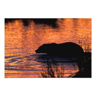 NA, USA, Alaska, Grizzly bear Photo Art