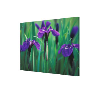 NA, USA, Alaska, Knight Island, Wild iris Stretched Canvas Print