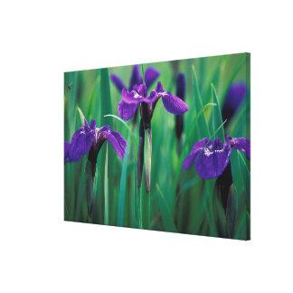 NA, USA, Alaska, Knight Island, Wild iris Canvas Print