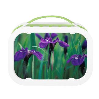 NA, USA, Alaska, Knight Island, Wild iris Lunchboxes