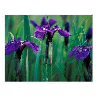 NA, USA, Alaska, Knight Island, Wild iris Postcard