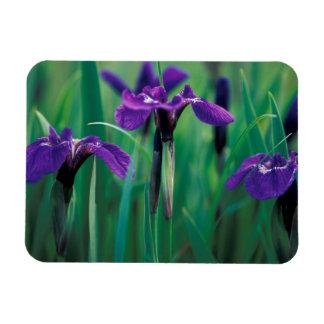 NA, USA, Alaska, Knight Island, Wild iris Rectangular Photo Magnet