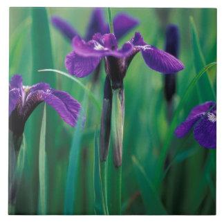 NA, USA, Alaska, Knight Island, Wild iris Tiles