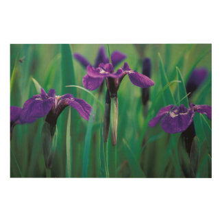 NA, USA, Alaska, Knight Island, Wild iris Wood Canvases