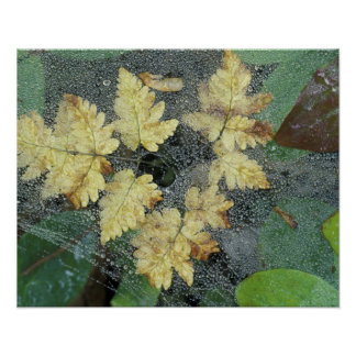 NA, USA, Alaska, Nancy Lake. Dew on spiderweb Poster