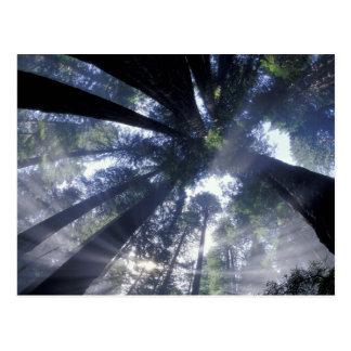 NA, USA, California, Del Norte Redwoods State Postcard