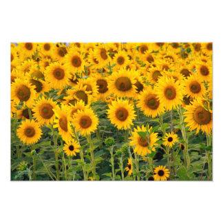 Na, USA, Colorado, Sunflowers Art Photo