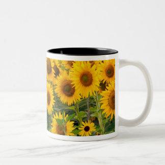 Na, USA, Colorado, Sunflowers Two-Tone Coffee Mug