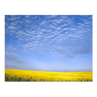 Na, USA, ID, Grangeville, Field of Canola Crop Postcard