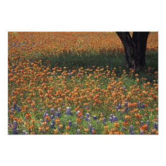 NA, USA, Texas, Hill Country, Paint brush and Photo