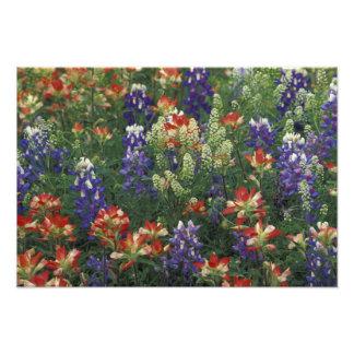 NA, USA, Texas, near Marble Falls, Paint brush Photo Print