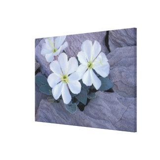 NA, USA, Utah, Arches NP, Evening primrose Gallery Wrap Canvas