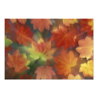 NA, USA, Washington, Issaquah, Vine maple Art Photo