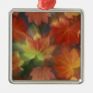 NA, USA, Washington, Issaquah, Vine maple Silver-Colored Square Decoration