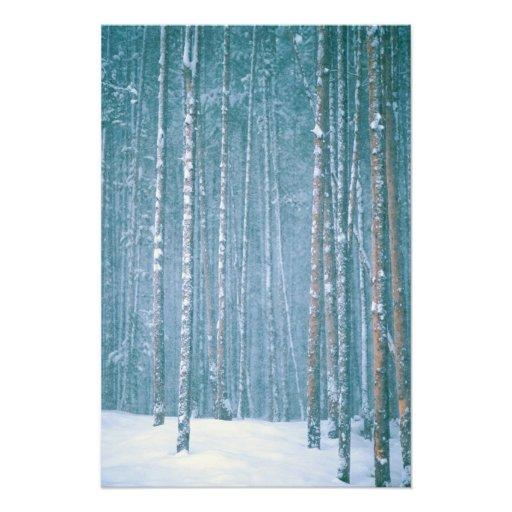 NA, USA, WY. Snowy winter scene among Art Photo